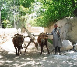 Afghan farmer and his team of oxen.