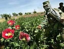 Afghan police destroying poppy crops